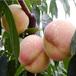 哪里有卖嫁接好的冬桃苗?桃树嫁接苗多少钱一棵?