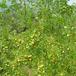 枣树苗新品种!新枣树苗!1公分冬枣树苗价格