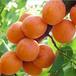 杏树苗新品种,珍珠油杏,杏树苗多少钱一棵