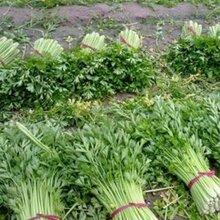 砀山芹菜价格,安徽砀山芹菜价格,砀山芹菜批发价格是多少图片