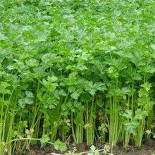 砀山芹菜苗价格是多少?砀山小芹菜批发多少钱一斤图片