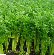 宿州砀山西芹价格是多少钱已经?安徽砀山芹菜价格是多少图片