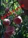 七月份成熟的桃树苗