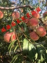 黄金蜜7号桃几月份成熟图片
