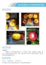河北省優質早熟桃品種蹯桃品種圖片