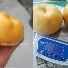 涼山晚熟桃品種_涼山哪里有賣圖片