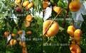 廊坊在昆山張浦哪里才能購到黃桃苗_廊坊品種簡介