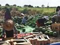 缅甸进口水果批发,昂达甜王西瓜花瓜无籽瓜可混批图片