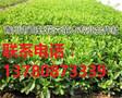 山东青州市冬青幼苗大量供应,青州百轩花卉苗木图片