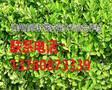 山东青州市冬青幼苗低价批发,青州百轩花卉苗木图片