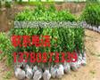 山东青州市冬青幼苗价格优惠,青州百轩花卉苗木图片