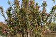 地径8公分西府海棠农户种植最低价格供应