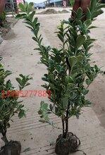 出售江苏和谐苗木基地30公分-40公分-50公分高大叶黄杨价格报价