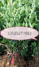 介绍江苏产地10公分大叶黄杨小苗价格20公分-30公分高大叶黄杨基地价格