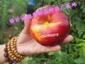 南方种什么桃树好吃图片