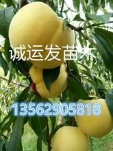 五月初早熟桃品种中秋王桃简介图片