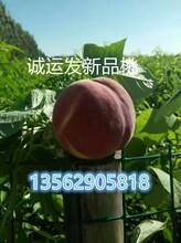黄金蜜4号桃紫叶冬桃前景图片