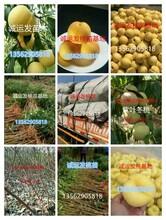 11月成熟的桃子九九桃王几号成熟图片