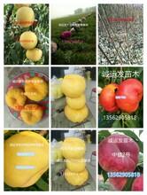 冬桃最新品种紫叶冬桃介绍图片
