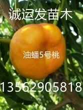 黄金4号桃简介国庆桃简介图片