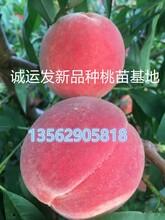 黄桃树苗种植方法紫叶冬桃最好的苗木基地图片