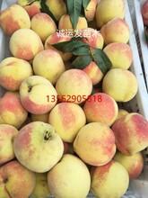 黄金蜜4号国庆红桃和雪桃的区别图片