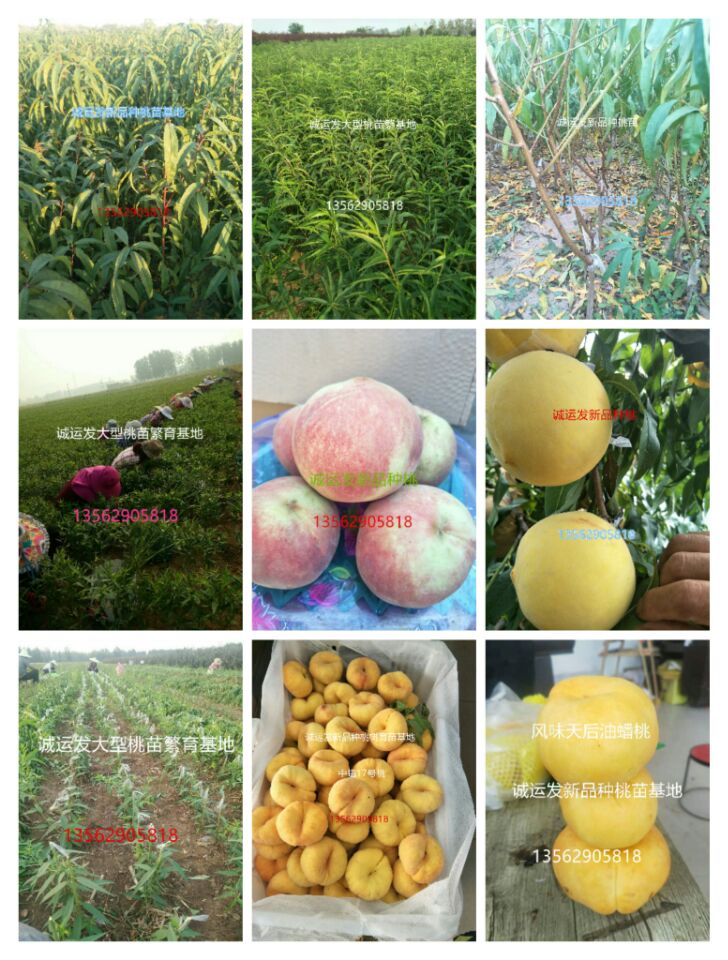 桃苗子价格晚熟桃品种