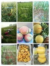 12月份成熟的桃子沂蒙冬桃图片