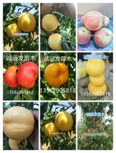 桃新品种国庆桃王一号图片