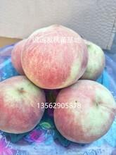 附近卖桃树苗的超级珍品王桃树论坛图片