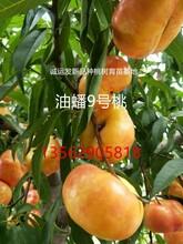 晚熟黄桃新品种紫叶冬桃最好的苗木基地图片