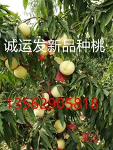 新品种晚熟桃苗价格金秋王桃简介图片