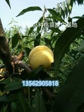 11月成熟的桃子国庆脆红桃优缺点图片