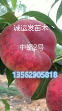 中华巨桃国庆桃简介图片