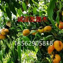 12月份成熟的桃子国庆脆红桃优缺点图片