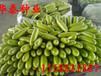 西葫蘆種子哪里便宜