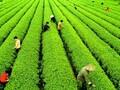 贵州茶资源交易中心面向全国火爆招商图片