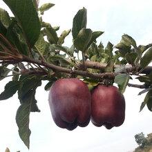 甘肃特产一级天水花牛苹果泰安蛇果10斤包邮新鲜水果批发一件代发图片