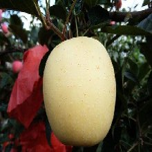 维纳斯黄金苹果特点维纳斯黄金苹果苗报价维纳斯黄金苹果苗介绍