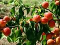 1公分珍珠油杏苗基地珍珠油杏苗品种价格图片