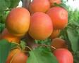 1公分红丰杏苗价格红丰杏苗品种特点图片
