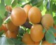 1公分凯特杏苗基地凯特杏苗品种报价图片