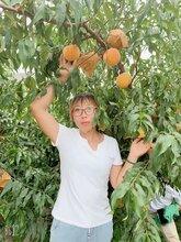 黄金蜜0号桃品种特点黄金蜜0号桃苗价格黄金蜜0号桃苗基地