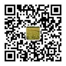 哪里批发供应新麦26小麦种子?价格多少钱一斤?图片