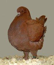 肉鸽养殖图片价格--山东骏驰种鸽养殖场