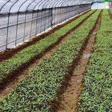 灵草堂金线莲生长周期6—8个月即可收获