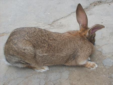杂交野兔种兔_杂交野兔养殖行情分析肉兔养殖前景杂交野兔市场价格