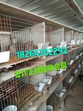 獺兔養殖利潤分析獺兔養殖基地哪有回收獺兔的包技術圖片