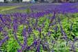 蘭花鳶尾種子.水蔥種子.藍薊種子.一串紅種子.紫花地丁種子
