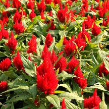 供應雞冠花種子、火焰雞冠花種子、冠狀雞冠花種子圖片